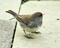 Junco(?). Image taken with a Fuji X-H1 camera and 200 mm f/2 lens + 1.4x TC