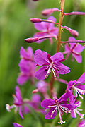 Fireweed wildflowers blooming at the McNeil River State Game Sanctuary on the Kenai Peninsula, Alaska. The remote site is accessed only with a special permit and is the world's largest seasonal population of brown bears in their natural environment.