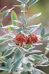 Grevillea victoriae 'Murray Valley Queen'