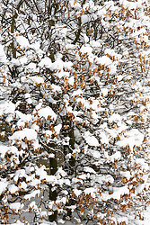 Beech hedge in snow. Fagus sylvatica