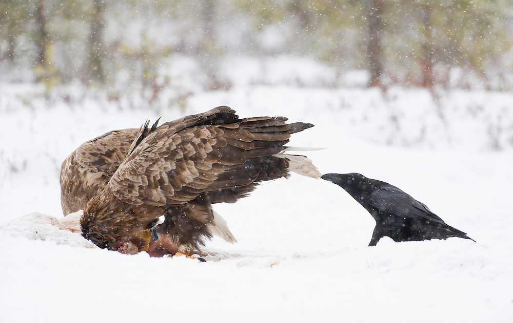 Sea eagle having its tail pulled by a raven , Estonia
