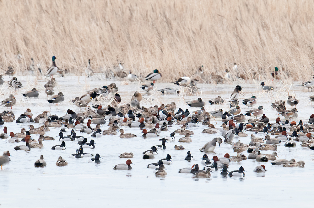Northern Pintails, Mallards, Gadwalls, American Wigeon, Green-winged Teal, Northern Shoveler, Redheads, Ring-necked Ducks, Brown County, South Dakota