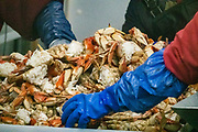 A blue gloved hand sorts crab. Haines Packing Company, since 1917, at Mile 5.5 Mud Bay Road in Haines, Alaska, USA. At one of oldest cannery sites in SE Alaska, see the seafood processing line through large windows and visit the gift shop.
