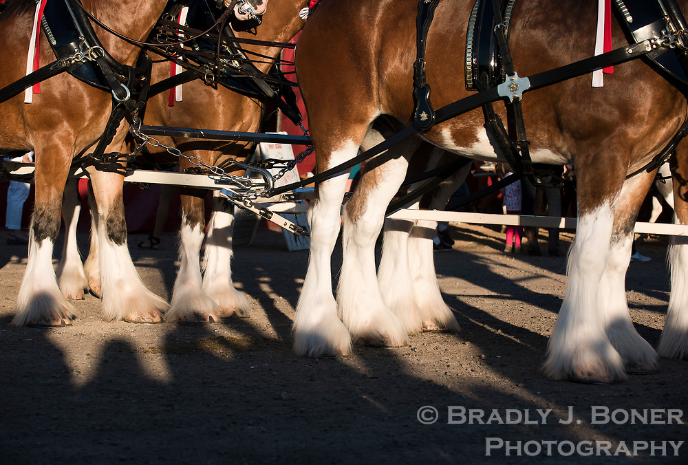 The Budweiser Clydesdales wait to enter the Jackson Hole Rodeo arena Saturday evening at the Teton County Fairgrounds. The iconic horse team made several appearances around the valley throughout the week of the 2017 Teton County Fair.