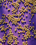 9900-1018B ~ Copyright:  George H. H. Huey ~ Grains of barley on handmade paper.  [Healthy, edible, whole grain].