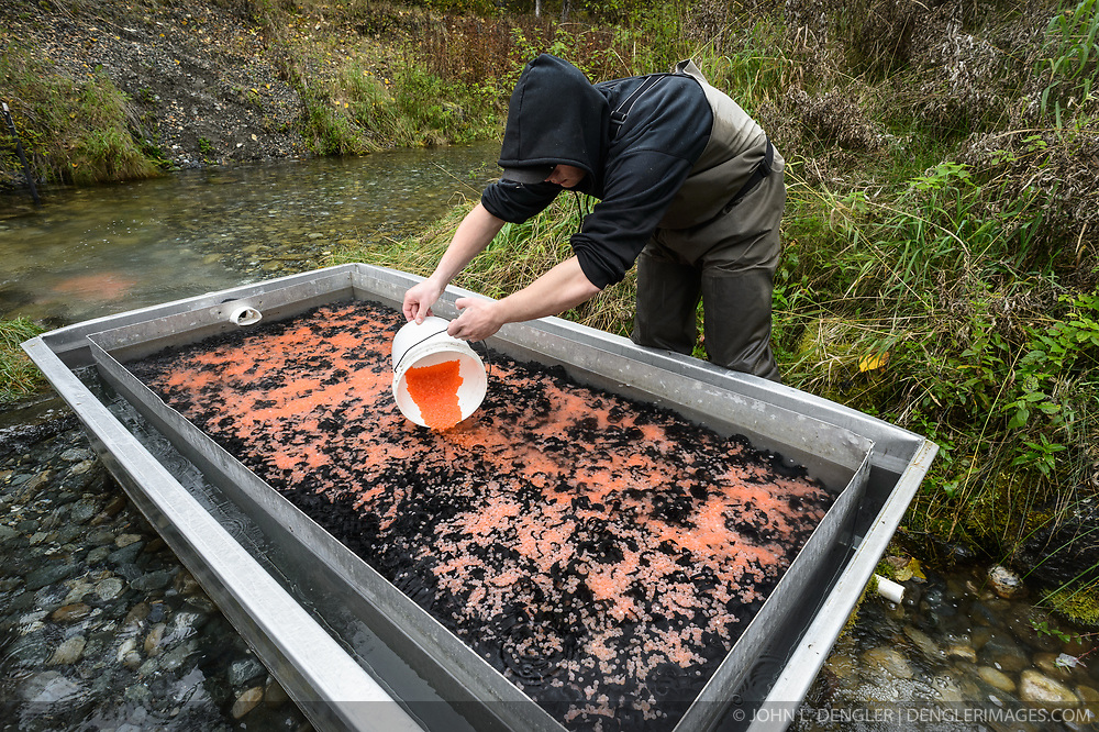 Dylan Burbank, a fish technician for the non-profit Northern Southeast Regional Aquaculture Association, Inc. (NSRAA), gently pours the fertilized eggs onto a bed of loosely ground chunks of plastic in the incubation boxes. The boxes are located on the man-made spawning channel of Herman Creek near Haines, Alaska.<br /> <br /> The incubation boxes have a steady flow of fresh water from Herman Creek flowing through them. Over the winter the fertilized eggs will develop into fry. The incubation process is 100% natural. Fry are not fed. Once they are big enough, the fish leave the incubation boxes on their own.<br /> <br /> In 2014, 2.4 million eggs were seeded into these incubation boxes. The 2013 incubation box survival rate was 90%. Without the artificial spawning, natural survival is said to be only 10%.<br /> <br /> Based in Sitka, Alaska, NSRAA conducts salmon enhancement projects in northern southeast Alaska. It is funded through a salmon enhancement tax (of three percent) and cost-recovery income. NSRAA also produces sockeye, chinook, and coho salmon.<br /> <br /> Male chum salmon return to Herman Creek to spawn with female chum salmon during the fall chum salmon run. The chum salmon return to freshwater Herman Creek, tributary of the Klehini River after living three to five years in the saltwater ocean. Spawning only once, chum salmon die approximately two weeks after they spawn. <br /> <br /> Chilkat River and Klehini River chum salmon are the primary food source for one of the largest gatherings of bald eagles in the world. Each fall, bald eagles congregate in the Alaska Chilkat Bald Eagle Preserve.