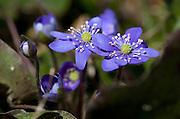 Spring flowers. Hepatica nobilis - blåveis.