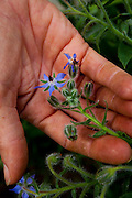 Contagem_MG, Brasil...Flor conhecida como borragem (Borago officinalis L.) na propriedade que produz e vende flores comestiveis para restaurantes e supermercados...The edible flowers, this flowers are seller in the restaurants and the supermarkets. In this photo the Borage (Borago officinalis L.)...Foto: LEO DRUMOND / NITRO