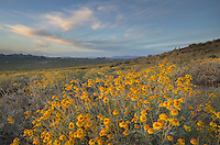 Fields of Brittlebush (Encelia farinosa), Superstition Mountains, Arizona