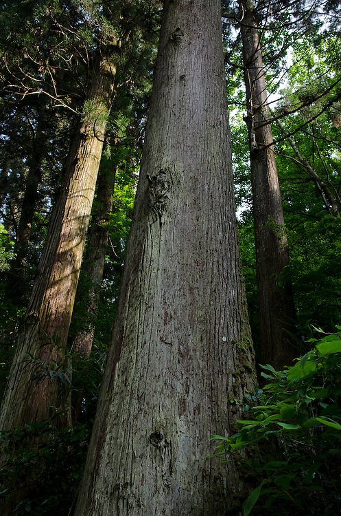 Cedar and cypress forest,  Mt Takao, Japan, Wednesday May 22, 2013. Credit:  SNPA / David Alexander