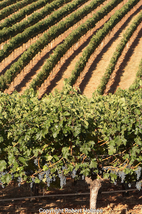 Merlot harvest at Stout Ranch, Angwin, Napa Valley