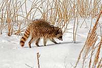 Northern Utah February 2013 a raccoon works its way through the reeds in a local marsh searching for food.