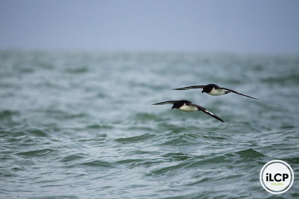 Cape Petrel (Daption capense) pair gliding over ocean, Kaikoura, South Island, New Zealand