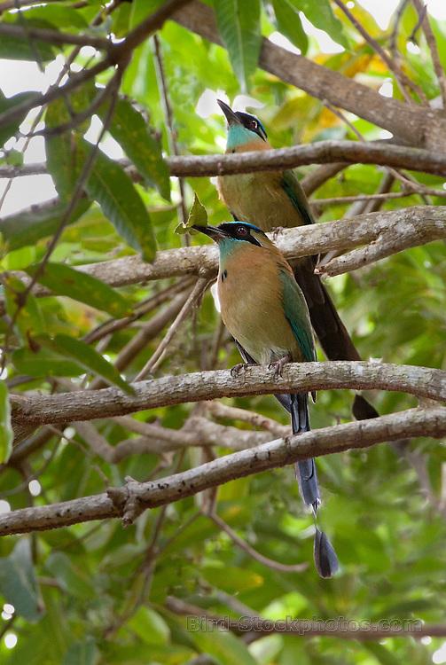 Blue-Diademed Motmot, Momotus lessonii, pair, in tree, Panama, by Owen Deutsch