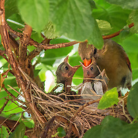 A mother cardinal feeds her nestlings