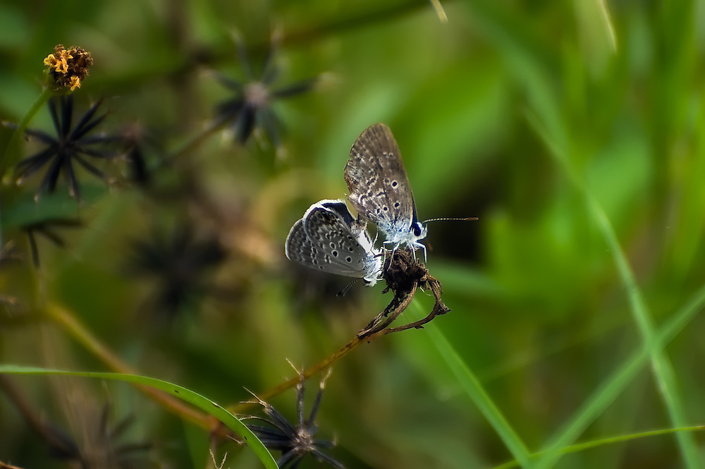 A pair of ceraunus blues creating the next generation of butterflies in the Celery Fields of Sarasota County, Florida.