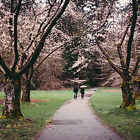 A couple walking in the rain with umbrella, through trees filled with cherry blossoms.