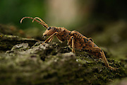 Longhorn Beetle, Pinchbuck (Rhagium sycophanta) - The Biosphere Reserve 'Niedersächsische Elbtalaue' (Lower Saxonian Elbe Valley), Germany |  Eichenzangenbock (Rhagium sycophanta)