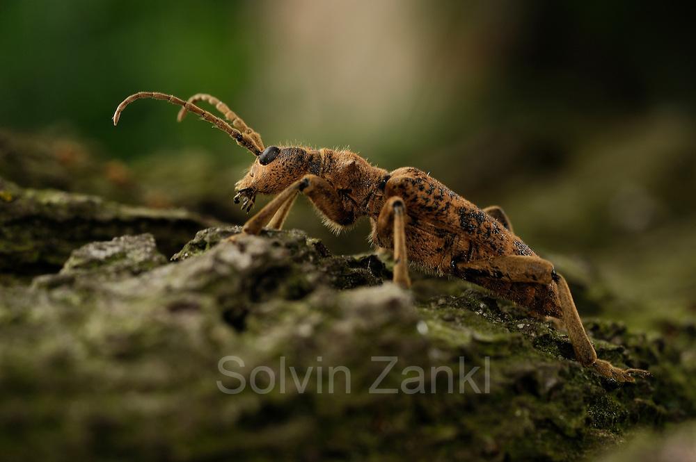 Longhorn Beetle, Pinchbuck (Rhagium sycophanta) - The Biosphere Reserve 'Niedersächsische Elbtalaue' (Lower Saxonian Elbe Valley), Germany |  Eichenzangenbock (Rhagium sycophanta)
