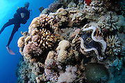 Underwater photography of a large clam in a coral reef in the Red Sea Aqaba, Jordan