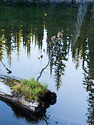 A pine tree tried to grow from a log, Horseshoe Lake, deep in the Clearwater National Forest, Idaho, United States.