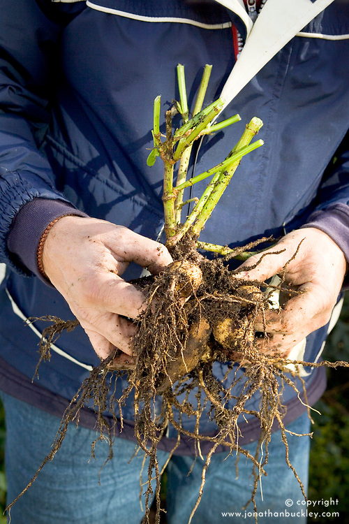 Lifting dahlias from a border in autumn - tidying up dahlia tuber