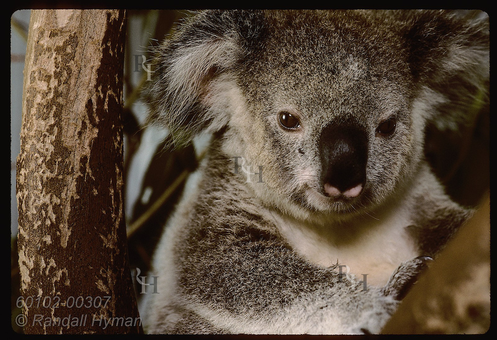 Orphaned 9-month-old koala poses in branch in his cage at the Eprapah rehab center; Brisbane. Australia