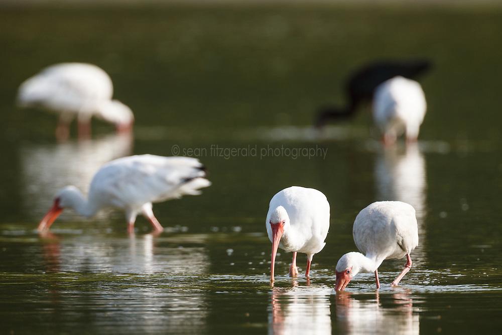 "White-faced ibis feeding, ""Secret Bird Pond"" near Trinity River Audubon Center, Great Trinity Forest, Dallas, Texas, USA."