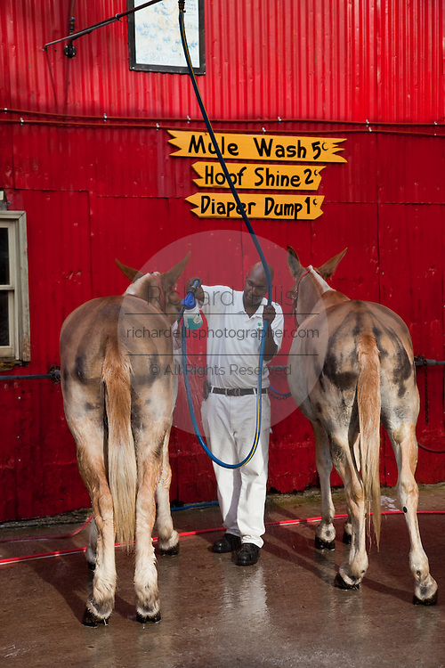 A worker at Palmetto Carriage barn in Charleston, SC washes the mules after a day of work pulling carriage tours of the historic section of Charleston, SC.