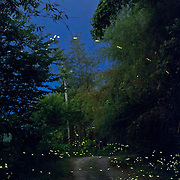 Fireflies in the forest in Takanua, Ming Shen, Namasiya Township, Kaoshiung County, Taiwan