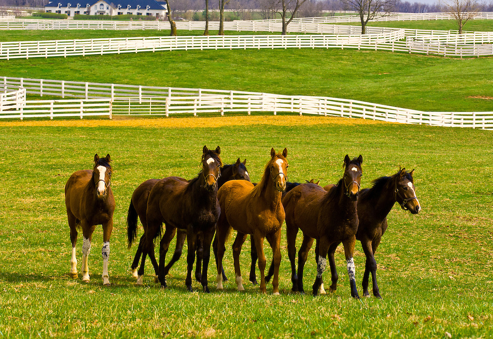 Thoroughbred horses, Monticule Farm, Harp Innis Pike, Lexington, Kentucky USA