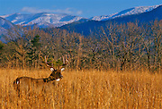 White-tailed deer in a field in Smoky Mountains N.P. after a light snow.