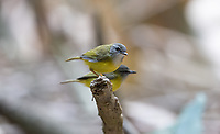 The yellow-bellied warbler (Abroscopus superciliaris) is a species of bush warbler (family Cettiidae).