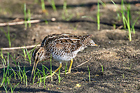 Common Snipe (Gallinago gallinago),  Green Cay Nature Area, Delr   Photo: Peter Llewellyn