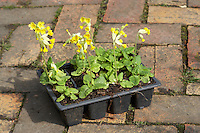 The Ridges garden, Lancashire Primroses in tray about to be planted in a wildlife garden