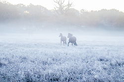 Brokenhurst, Hampshire, UK. November 19th 2016. Horses frolic in the frost and mist near Brockenhurst, Hampshire.