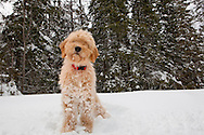 Doodle puppy standing in the snow