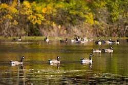 Canada Geese at the Ewell Reservation in Rowley Massachusetts USA