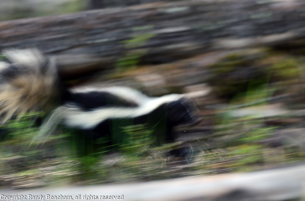 Striped skunk walking through a wet forest in spring. Yaak Valley in the Purcell Mountains, northwest Montana.