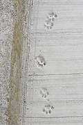 Aoshima, Ehime prefecture, September 4 2015 - Cats footprints on the concrete of the pier.<br /> Aoshima (Ao island) is one of the several « cat islands » in Japan. Due to the decreasing of its poluation, the island now host about 6 times more cats than residents.