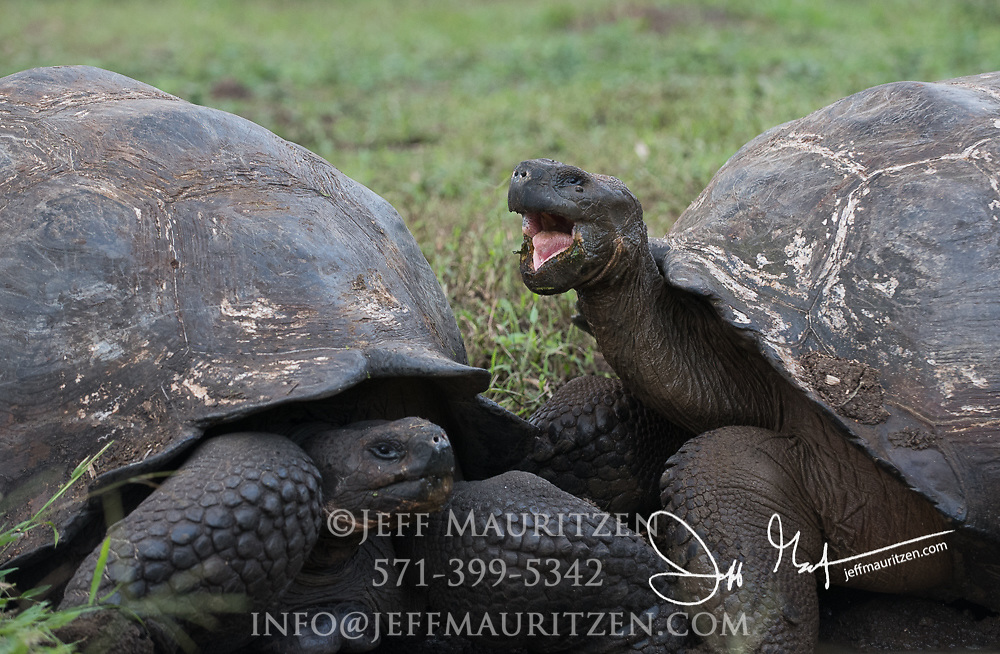 Two Galapagos Giant tortoises in the highlands of Santa Cruz island.