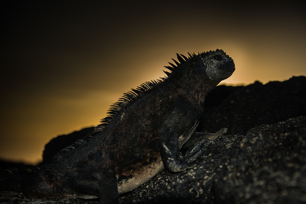 Silhouette of a marine iguana on a rock at sunset, Isla Isabela, Galapagos, Ecuador.