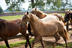 The Grayson Jockey Club Foundation plays a key role in the health of the Thoroughbred industry by funding important research. <br /> <br /> UK research Ph.Ds, Dr. Martin Nielsen and Dr. David Horohov are conducting research on a group of ponies by analyzing their vitals after de-worming and vaccinating the equids. They want to see if giving both regimines have negative effects on each other., Tuesday, Aug. 06, 2013 at the C. Oran Little Research Center in Versailles.
