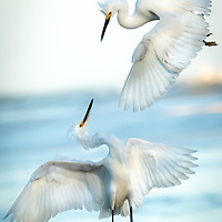 Snowy Egrets dancing in Colombia
