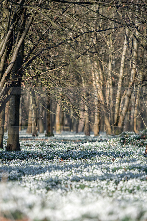 © Licensed to London News Pictures. 18/02/2015. Welford, UK Snowdrops in bloom at Welford Park in Berkshire today 18th February 2015. The Galanthus Nivalis display at Welford Park is in a beech wood covering approximately 5 acres alongside the River Lambourn. Photo credit : Stephen Simpson/LNP