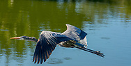 The great blue heron (Ardea herodias) is a large wading bird in the heron family Ardeidae, common near the shores of open water and in wetlands over most of North America and Central America, as well as the Caribbean and the Galápagos Islands
