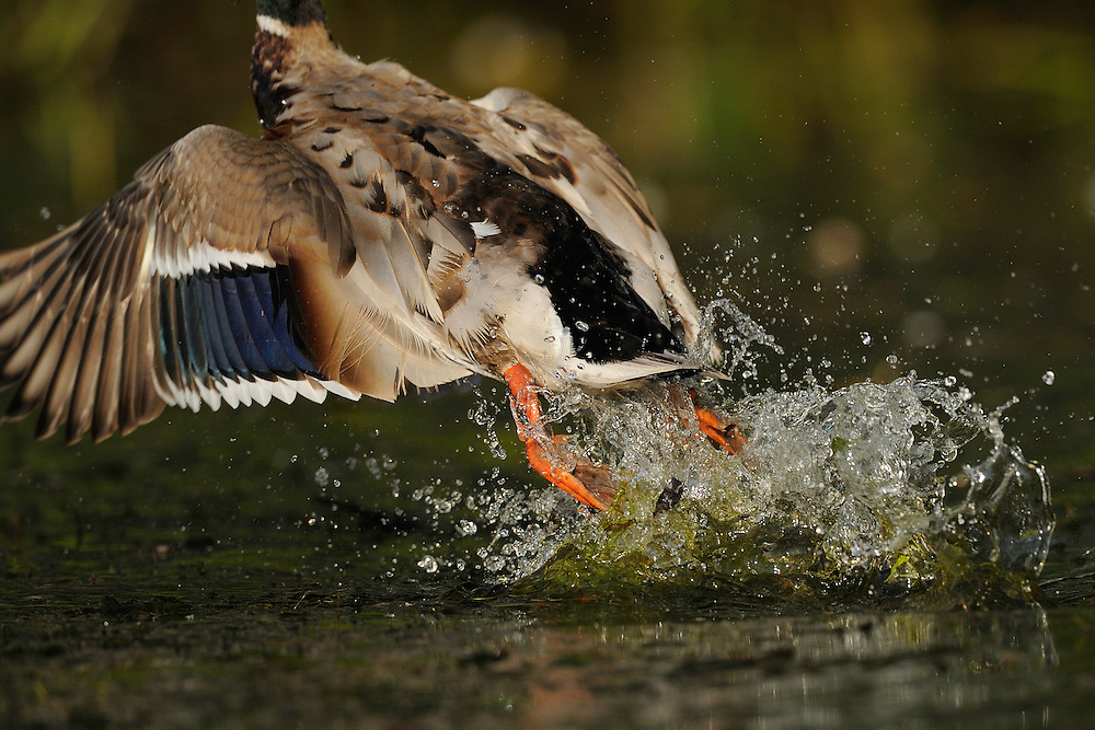 Mallard duck, Anas platyrhynchos, Danube delta rewilding area, Romania