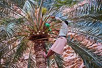 Sultanat d'Oman, gouvernorat de Ash Sharqiyah, Wadi ash Shab, plantation de dattes // Sultanat of Oman, governorate of Ash Sharqiyah, Wadi ash Shab, date plantation