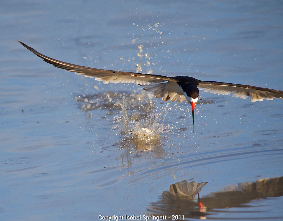 Black Skimmer.  (Rynchops niger), Courtenay, Matto Grosso, Brazil, Isobel Springett