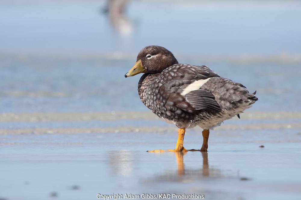 Birds; Falkland Flightless Steamerduck; Falkland Islands; Saunders Island; South America; Tachyeres brachypterus